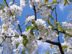 cherry-blossom-476583__180